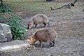 Capybara (Zoo Amiens).JPG