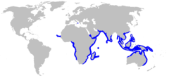 Carcharhinus amboinensis distmap.png