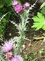 Carduus carlinoides 002.JPG