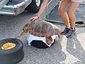 Caretta caretta rehabilitation (3).jpg