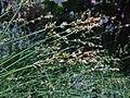 Carex divulsa inflorescens (10).jpg