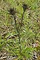 Carlina vulgaris Lower Saxony 03.jpg