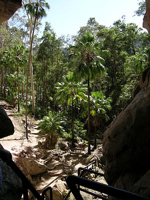 Livistona - Livistona nitida, the Carnarvon Fan Palm, as seen from the Amphitheatre in Carnarvon National Park.