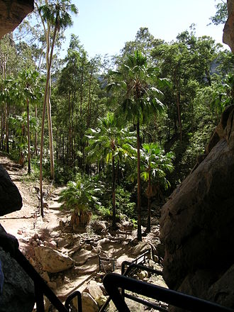 Carnarvon Gorge - Livistona nitida, the carnarvon fan palm, as seen from the Amphitheatre.