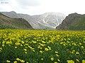Carpet of yellow flowers,Lar لار، دشت سفیدآب، تا بیکران همه زرد رنگ - panoramio.jpg