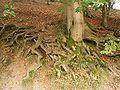 Carpinus betulus 09 ies.jpg
