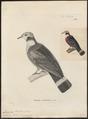 Carpophaga mullerii - 1700-1880 - Print - Iconographia Zoologica - Special Collections University of Amsterdam - UBA01 IZ15600121.tif