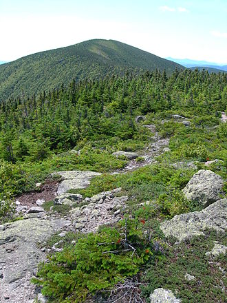Abies balsamea - Balsam fir krummholz on Mount Hight, New Hampshire