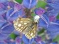 Carterocephalus silvicola - Northern chequered skipper - Сильвий (40108624725).jpg