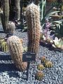 Caryophyllales - Oreocereus celsianus.jpg