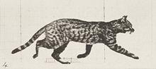 Cat Trotting Gif