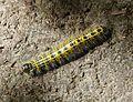 Caterpillar of Buff-tip Moth. Phalera bucephala - Flickr - gailhampshire (1).jpg