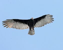 Cathartes burrovianus -flying -Argentina-8.jpg