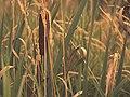 Cattail, Dodge Nature Center (14755655570).jpg