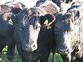 Cattle, Howgate - geograph.org.uk - 575031.jpg