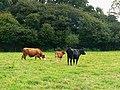 Cattle and The Grove, near Leafield - geograph.org.uk - 1447667.jpg