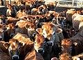Cattle at Cairnside - geograph.org.uk - 1702635.jpg