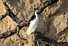 Cattle egret, Zimbabwe.jpg