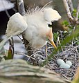 Cattle egret with eggs by Bonnie Gruenberg.jpg