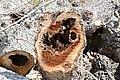 Cavités dans des bûches de peuplier blanc (69).JPG