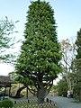 Cedars(ヒマラヤ杉) - panoramio.jpg