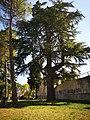 Cedro del Libano.jpg