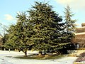 Cedrus libani - Seefeld - Hafen Riesbach 2012-02-04 15-58-19 (SX230).JPG