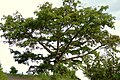 Ceiba (Ceiba pentandra) (14530350386).jpg