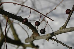 Celtis occidentalis - Fruits