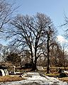 CemeteryBeech.jpg