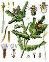 Centaurea benedicta - Köhler–s Medizinal-Pflanzen-043.jpg