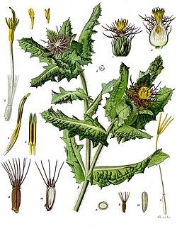 [Obrazek: 250px-Centaurea_benedicta_-_K%C3%B6hler%...en-043.jpg]