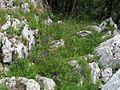 Centaurea montana PID1991-1.jpg