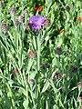 Centaurea nevadensis Enfoque 2010-7-17 JardinBotanicoHoyadePedraza.jpg
