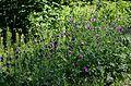 Centaurea scabiosa Standort.jpg