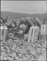 Centerville, California. Japanese field laborers packing cauliflower in field on large-scale ranch . . . - NARA - 537665.tif