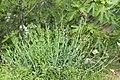 Centranthus ruber (Centranthe rouge) - 63.jpg