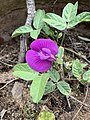 Centrosema rotundifolia 5760.jpg