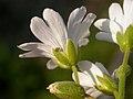 Cerastium arvense flower (3327637064).jpg