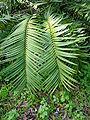Ceratozamia mexicana02.jpg