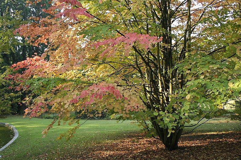 houppier en automne de larbre au caramel