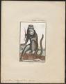 Cercopithecus petaurista - 1700-1880 - Print - Iconographia Zoologica - Special Collections University of Amsterdam - UBA01 IZ19900117.tif