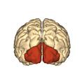 Cerebrum - occipital lobe - posterior view.png