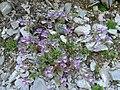 Chaenorrhinum origanifolium 1.jpg