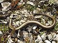 Chalcides chalcides Italy 1.jpg