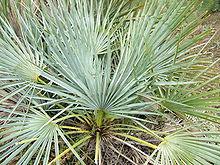 Aloe arborescens  Wikipédia