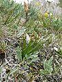 Chamorchis alpina 060707.jpg