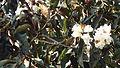 Champak flower.JPG