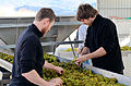 Chardonnay processing, vintage 2012.jpg