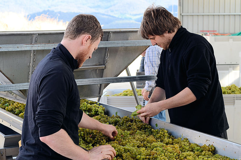 Chardonnay harvest in Tasmania photo by Mark Smith. Uploaded to Wikimedia Commons under CC-BY-2.0